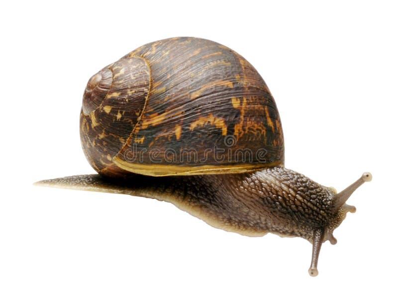 庭院查出蜗牛 免版税库存图片