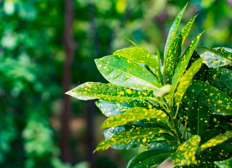 庭院树或园林植物美好的自然背景 绿色与黄色点的叶子