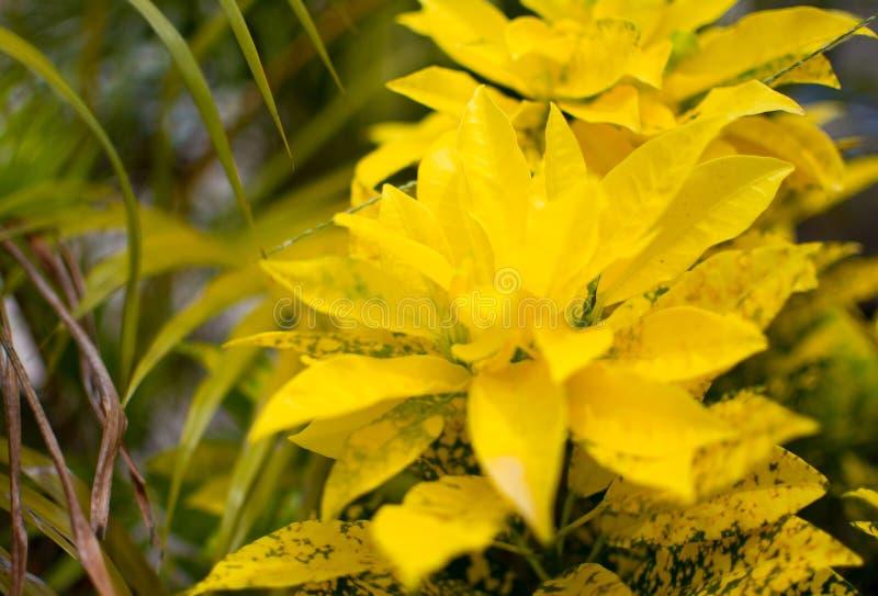 黄色点_庭院树或园林植物美好的自然背景 黄色与黄色点的叶子