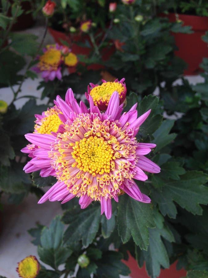 庭院桃红色花  库存照片