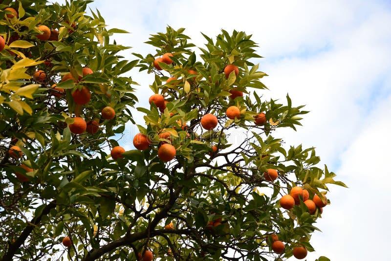 庭院橙树 免版税库存照片