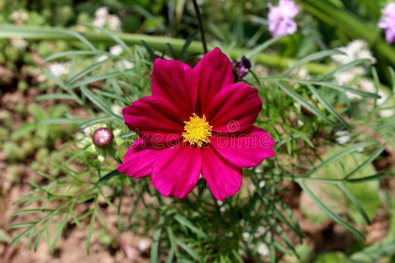 庭院波斯菊或波斯菊bipinnatus或者墨西哥翠菊深红花 库存照片