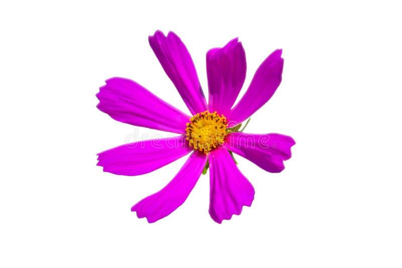 庭院波斯菊花被隔绝的桃红色罗斯 免版税库存照片