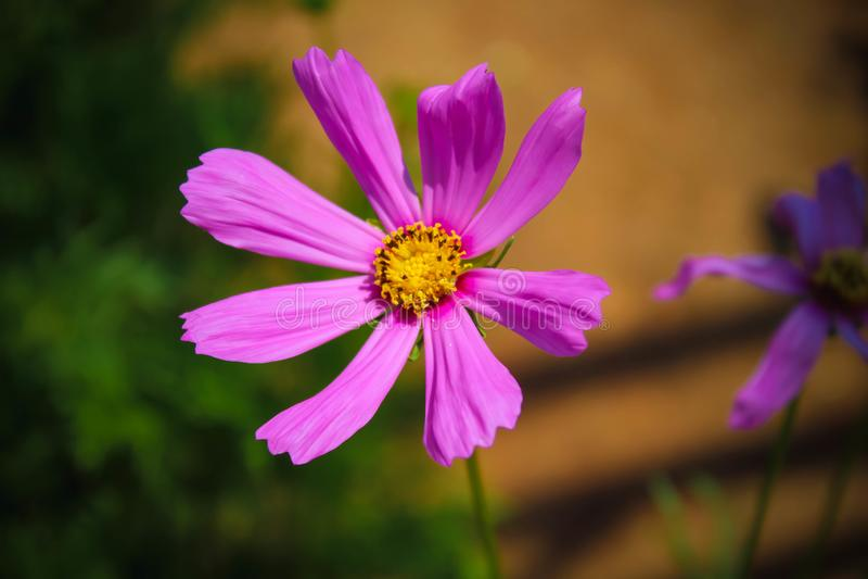 庭院波斯菊花Potrait桃红色罗斯 库存照片