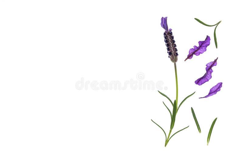 庭院淡紫色花和瓣在白色背景与拷贝空间在左边 免版税库存图片