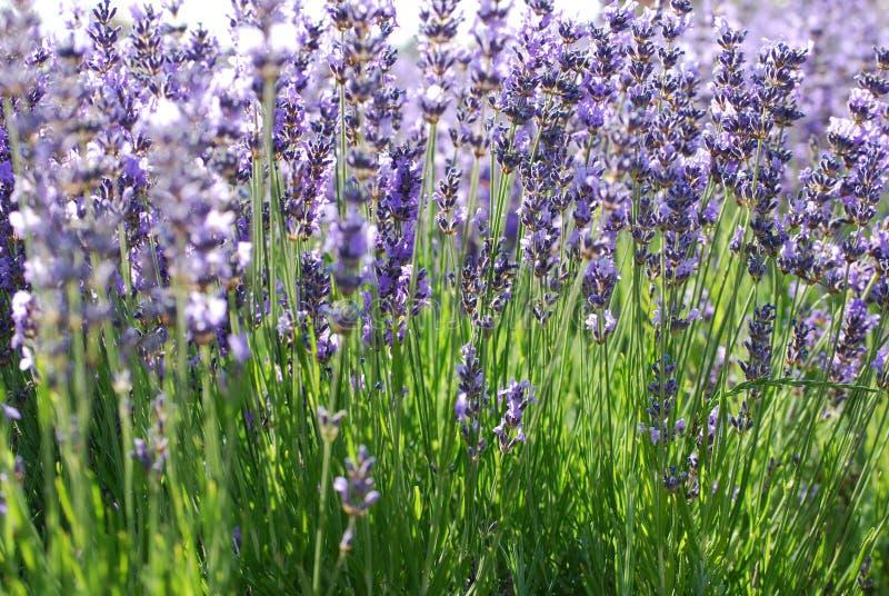 庭院淡紫色 免版税库存照片