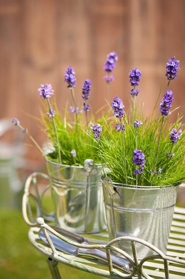 庭院淡紫色 免版税库存图片