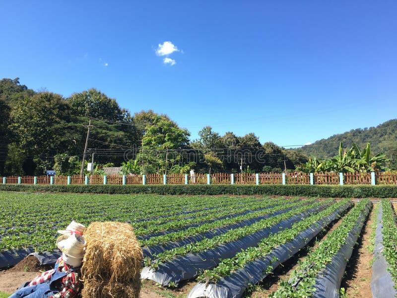 庭院温室生长草莓 免版税库存照片