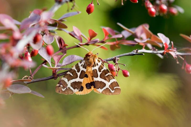 庭院灯蛾在灌木的Arctia caja 免版税库存照片