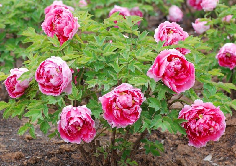 庭院牡丹春天 库存图片