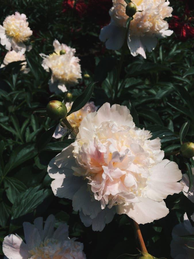 庭院牡丹粉红色 库存照片