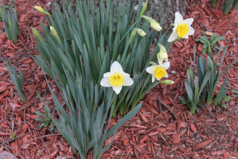 庭院白色和黄色花 库存图片