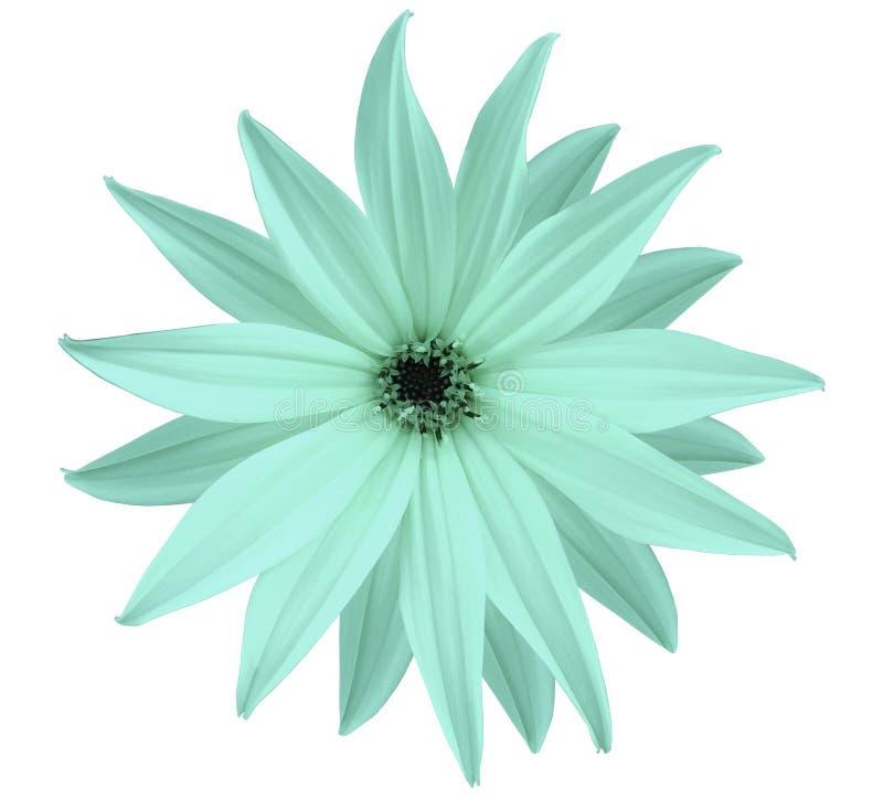 庭院白绿松石花,白色隔绝了与裁减路线的背景 特写镜头 没有影子 星的看法, de的 免版税库存照片