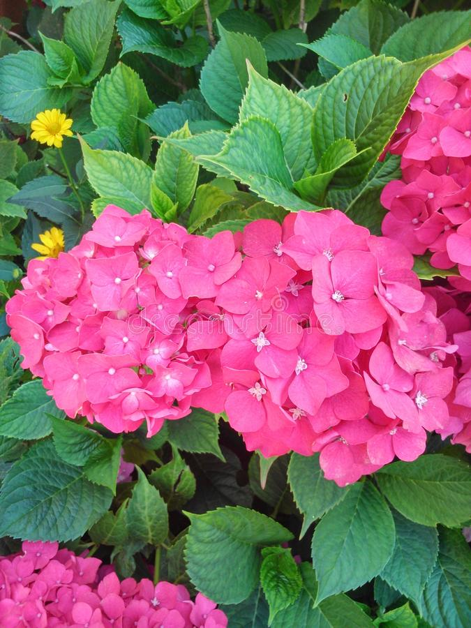 从庭院的华美的桃红色花 免版税库存图片