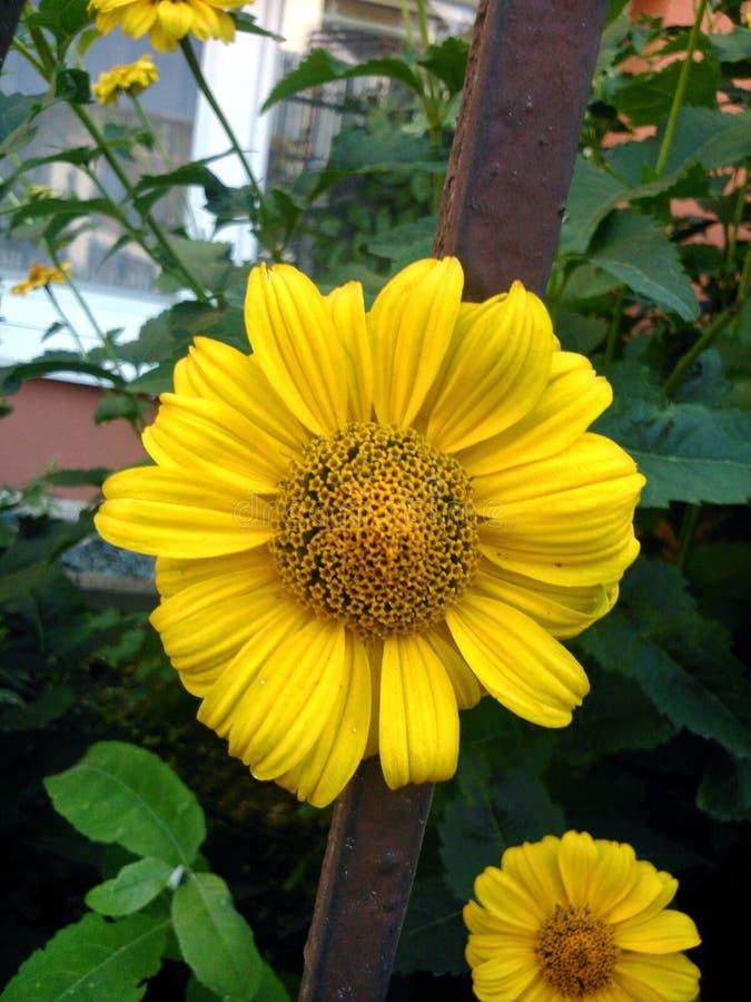 从庭院的华美的黄色花海胆亚目 图库摄影