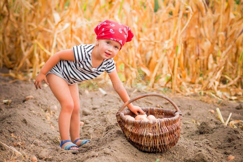 庭院的愉快的女婴有土豆收获的在篮子的在领域干燥玉米背景附近 红色班丹纳花绸的肮脏的孩子 库存照片