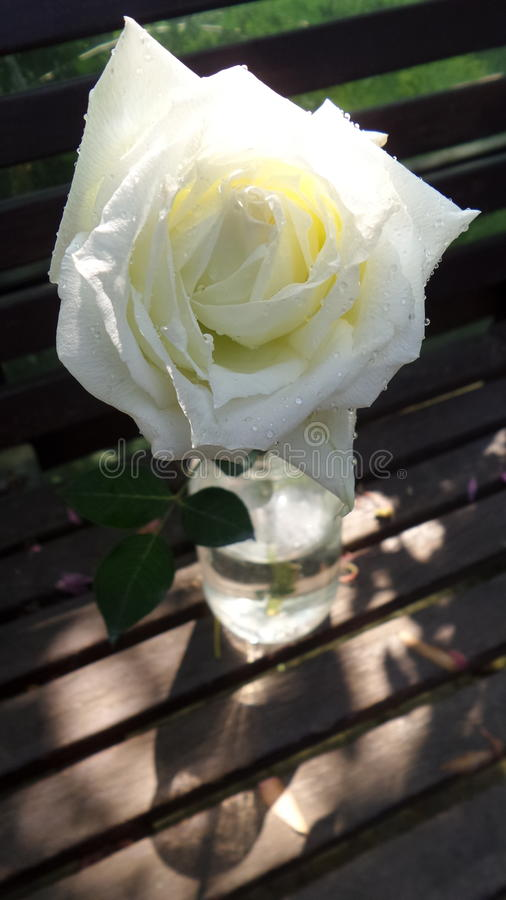 从庭院的白色玫瑰 免版税库存图片