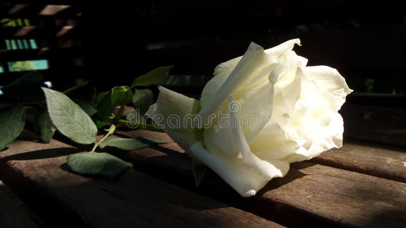 从庭院的白色玫瑰 库存图片