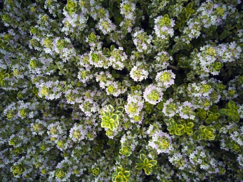 庭院的美丽的园林植物 在绿色灌木的白花 图库摄影