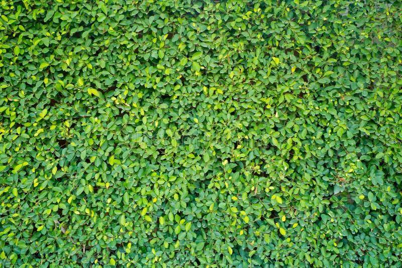庭院的绿色墙壁 免版税库存照片