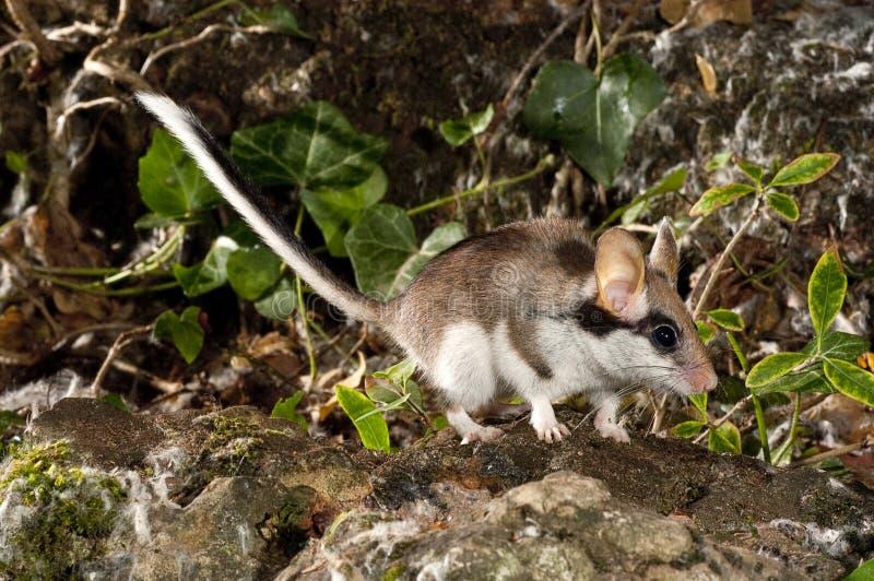 庭院睡鼠,Eliomys Quercinus,在乡下 免版税库存图片