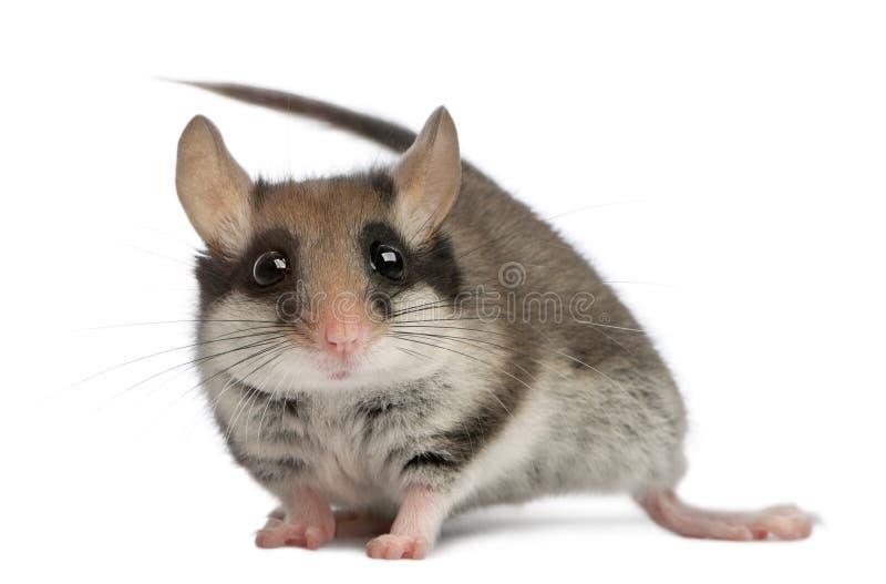 庭院睡鼠,Eliomys quercinus,2个月 免版税图库摄影
