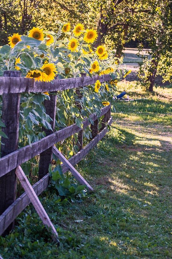 庭院篱芭用在它后的向日葵 免版税库存照片