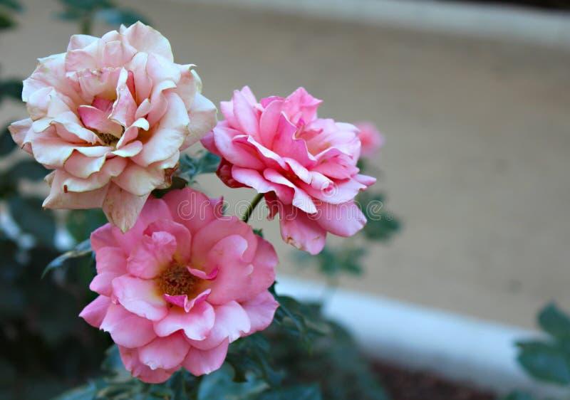 庭院粉红色玫瑰 库存图片
