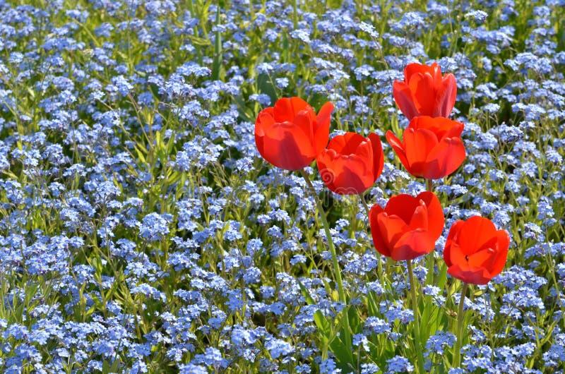 庭院红色郁金香 图库摄影