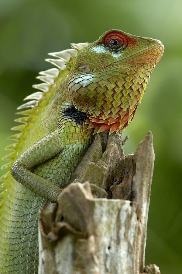 庭院绿蜥蜴 免版税库存照片