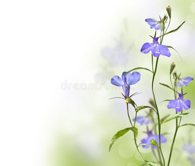 庭院花山梗菜 图库摄影