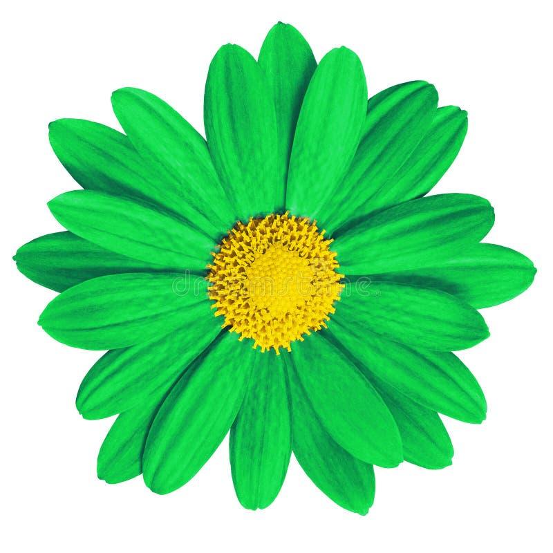 庭院花绿色在白色背景的黄色雏菊 特写镜头 宏指令 响铃圣诞节设计要素 免版税图库摄影