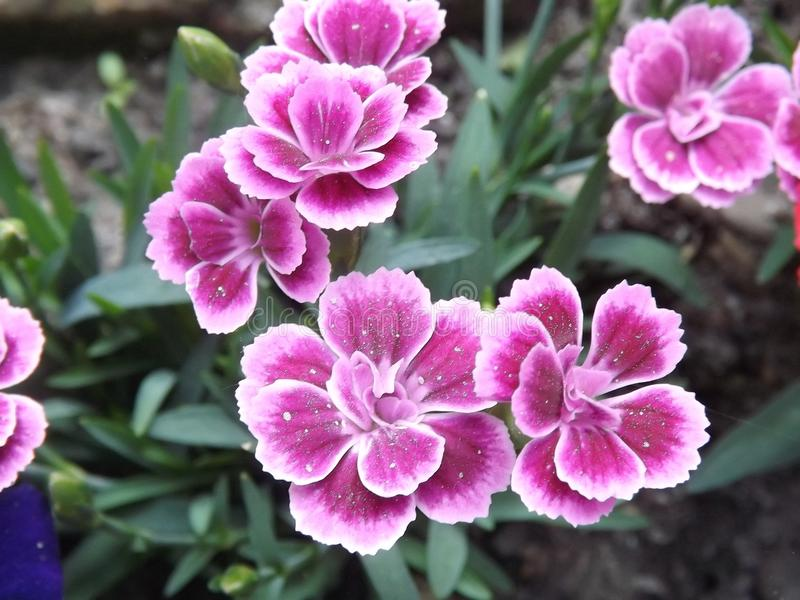 庭院花,在不同版本的天竺葵 库存图片