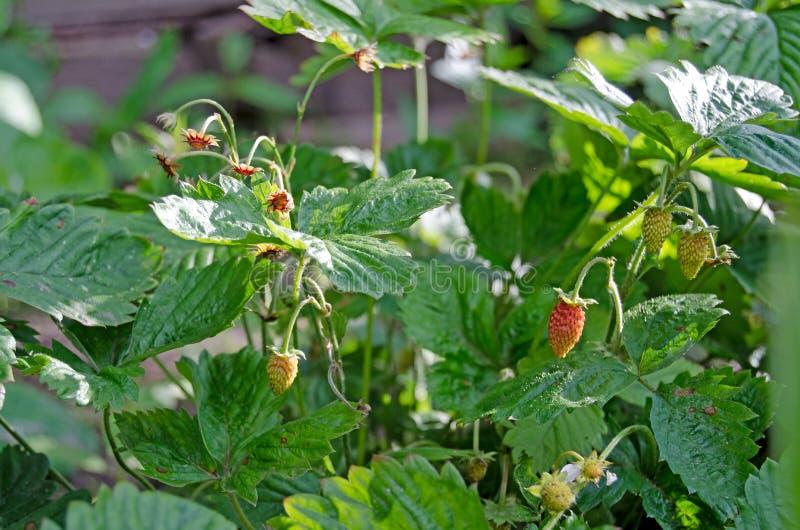 庭院草莓用红色莓果 免版税库存图片