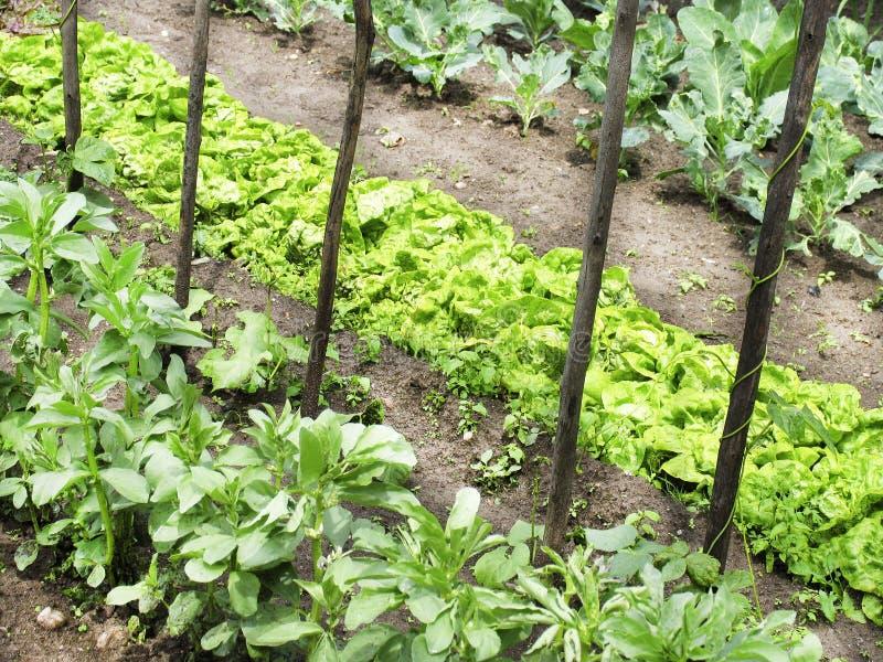 庭院蔬菜 免版税库存照片
