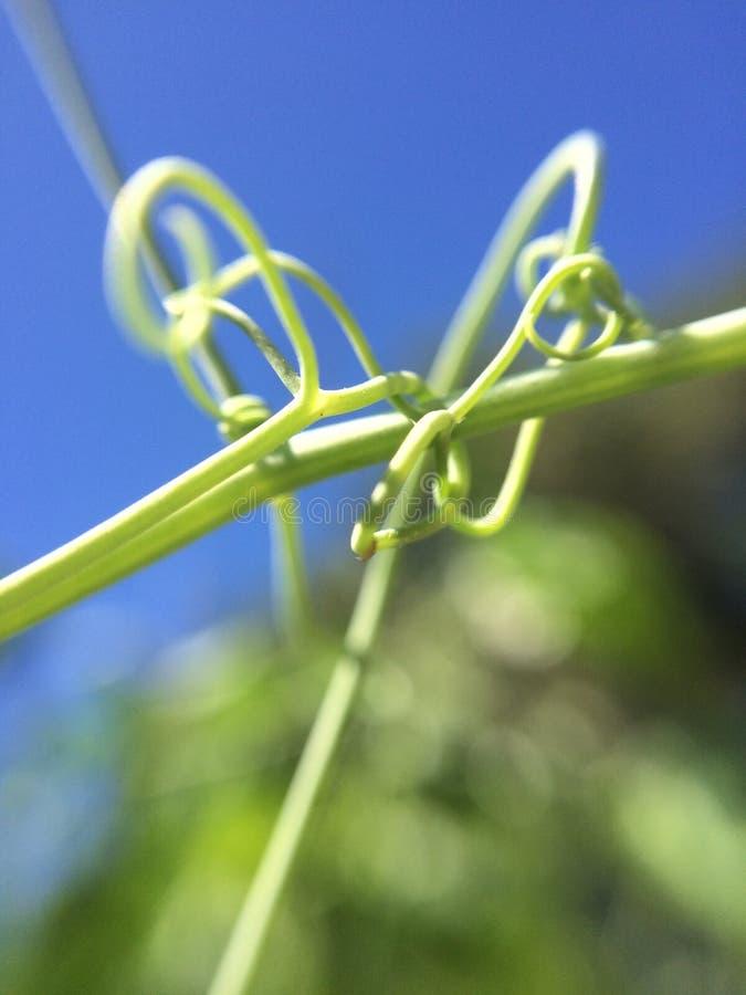 庭院藤卷须香豌豆花 库存图片
