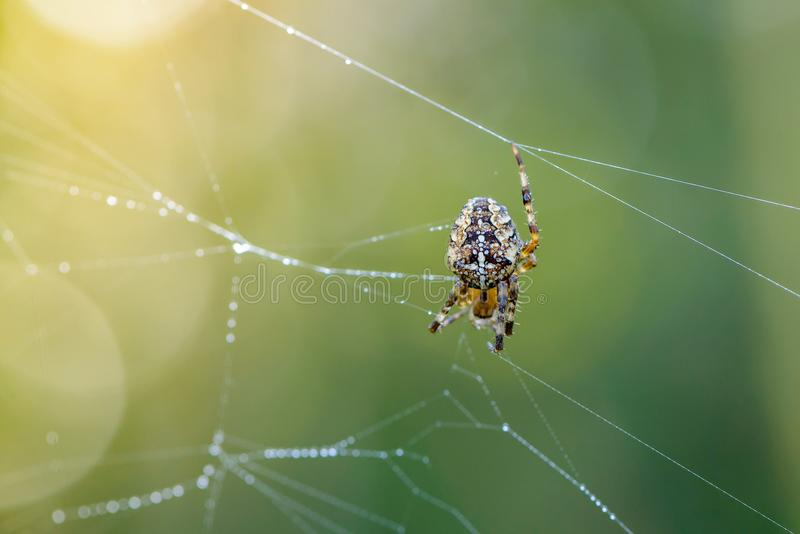 庭院蜘蛛女性蜘蛛修理它的与露水下落的网  库存照片