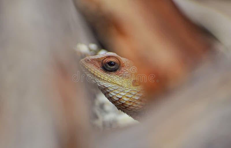 庭院蜥蜴 免版税库存图片