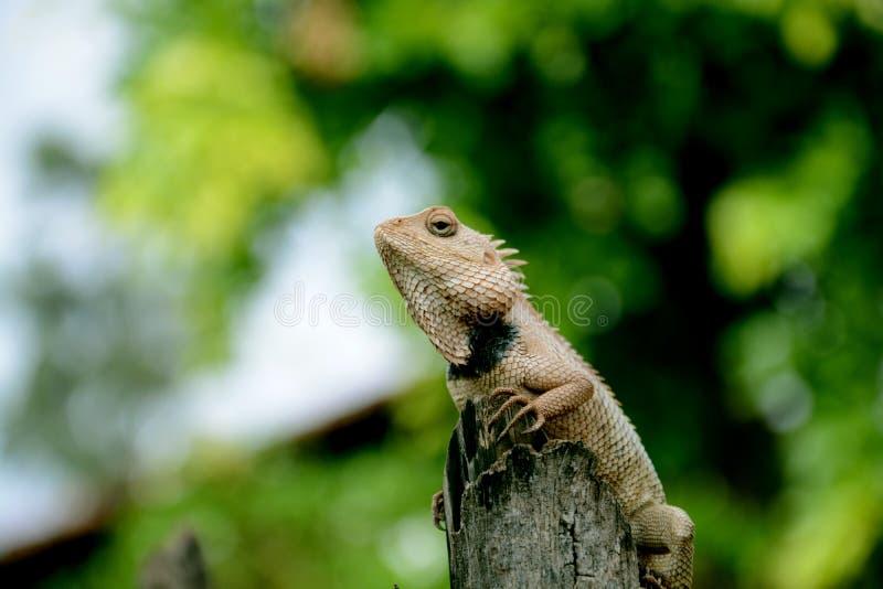 庭院蜥蜴calotes varsicolor 库存照片