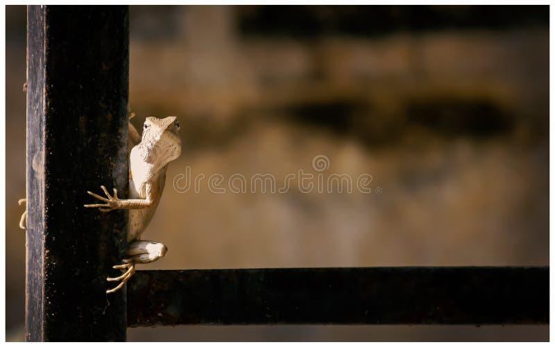 庭院蜥蜴摆在 免版税库存照片