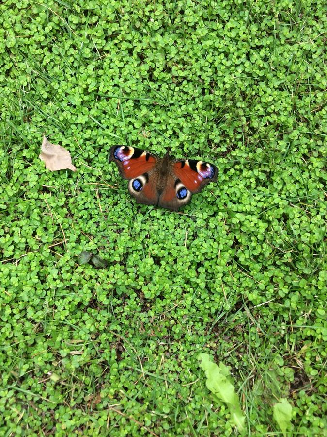 庭院蝴蝶 库存图片