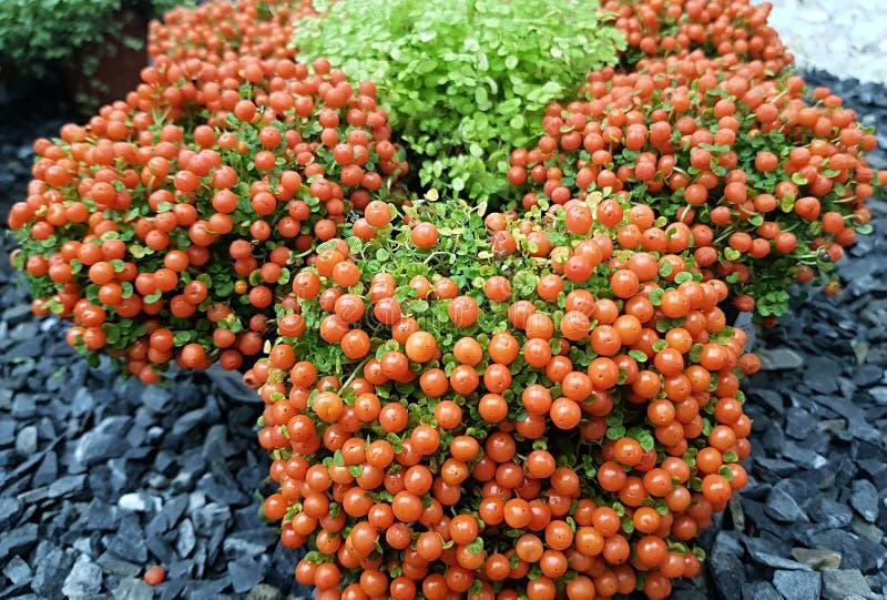 庭院设计的奇妙植物nerta Granandenzis 免版税库存照片