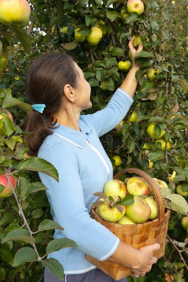 妇女在篮子的采摘苹果 免版税库存照片
