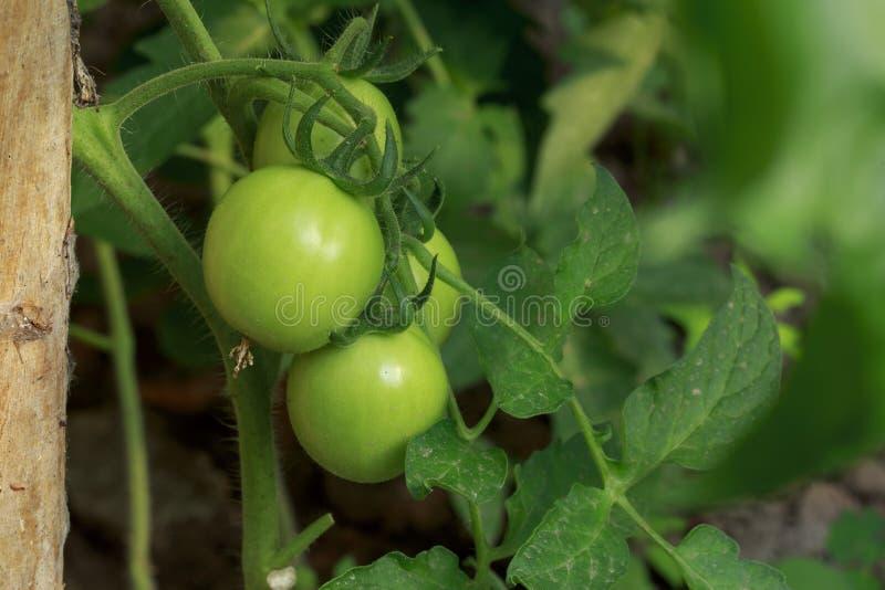 庭院绿色蕃茄 图库摄影