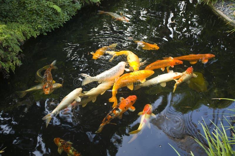 庭院koi池塘 库存图片