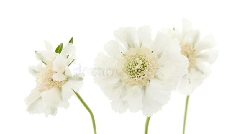 庭院scabiosa白色 库存图片