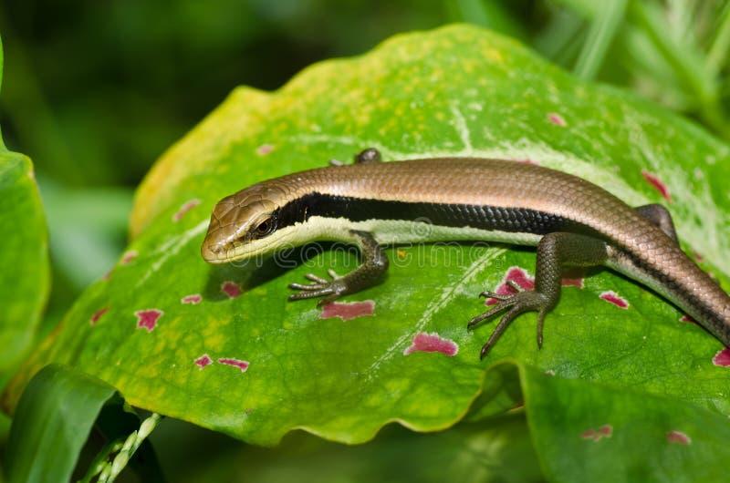 Download 庭院skink 库存图片. 图片 包括有 森林, 柬埔寨, 聚会所, 皮肤, 密林, 蜥蜴, 工厂, 爬行动物 - 22356083