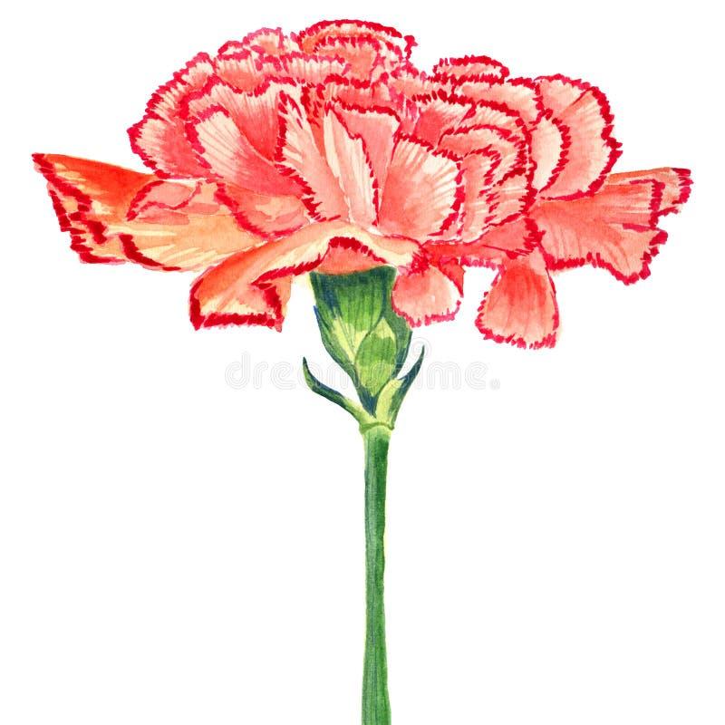 康乃馨丁香红色水彩 在白色背景的被隔绝的花 库存图片