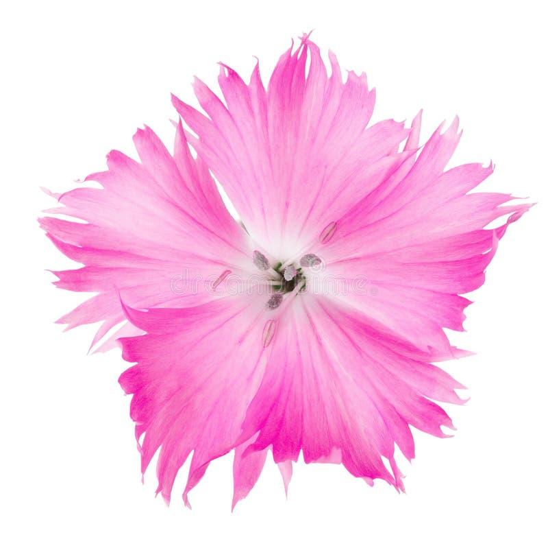 康乃馨在白色背景隔绝的粉色花石竹 免版税库存照片