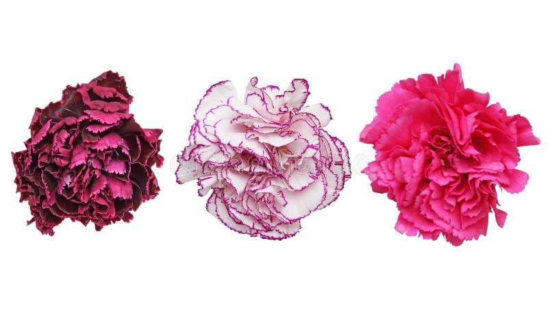 康乃馨头状花序在白色背景中 库存图片